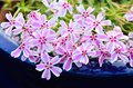 Phlox flowers paniculata a beautiful summer flower producing trailing blooms Royalty Free Stock Photo