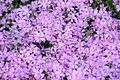 Phlox ground cover a patch of flowers Royalty Free Stock Image