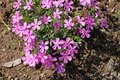 Phlox pilosa Polemoniaceae