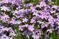 Phlox subulata decorative plant in the family polemoniaceae Royalty Free Stock Photo