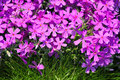 Phlox subulata flowers ang green grass background Royalty Free Stock Images
