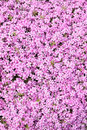 Phlox subulate flower texture of ground cover Royalty Free Stock Photography