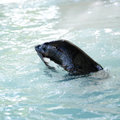 Phoca vitulina a swimming in water Stock Photos