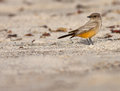 Phoebe say s sayornis saya hunting on the beach Royalty Free Stock Photo