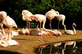 Phoenicopterus roseus flock of flamingos on the banks of the water Royalty Free Stock Images