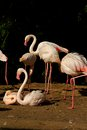 Phoenicopterus roseus flock of flamingos on the banks of the water Royalty Free Stock Photos
