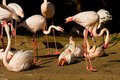 Phoenicopterus roseus flock of flamingos on the banks of the water Stock Photos