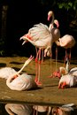 Phoenicopterus roseus flock of flamingos on the banks of the water Stock Photo
