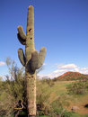 Phoenix cactus Stock Photos