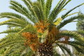 Phoenix canariensis, Canary Island Date Palm Royalty Free Stock Photo
