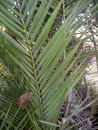 Phoenix canariensis Royalty Free Stock Photo