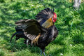 Phoenix rooster flapping wings on the farm yard. Golden Phoenix rooster on the traditional rural farmyard. Free range poultry farm Royalty Free Stock Photo