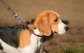 Photo of a Beagle dog