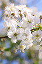 Photo of beautiful cherry blossom flower bloom in sunny spring day Royalty Free Stock Image