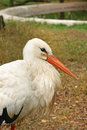 Photo of beautiful white stork at zoo, close-up Royalty Free Stock Photo
