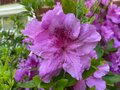 Big Purple Azalea Flower in Spring in April Royalty Free Stock Photo