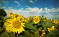 Photo of blooming sunflower field vintage Stock Photography