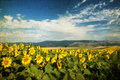 Photo of blooming sunflower field vintage Royalty Free Stock Images