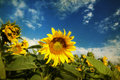 Photo of blooming sunflower field vintage Royalty Free Stock Photo