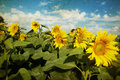 Photo of blooming sunflower field vintage Stock Image