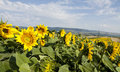 Photo of blooming sunflower field vintage Stock Photos