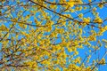 Photo of blooming yellow twig dogwood in garden in spring Royalty Free Stock Photo