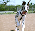 The photo bomber great dane jumps in front of camera at perfect moment Stock Images