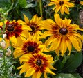 Sunflower or Helianthus is bright yellow Royalty Free Stock Photo