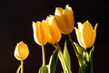 A photo of a bunch of yellow tulips against a black background beautiful spring bouquet warmly lit bright photographed in Stock Photography
