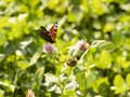 Photo of a butterfly on a flower and drinking nectar Royalty Free Stock Photo