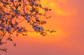Cherry blossom over orange sunset Royalty Free Stock Photo