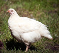 Photo of a Chicken Royalty Free Stock Photography