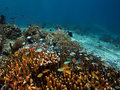 Photo of coral colony indonesia Stock Photography