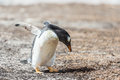Photo d un petit pingouin de gentoo Image stock