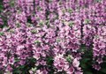 The photo depicts a lot of pink flowers Royalty Free Stock Photo