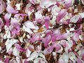 Fallen Magnolia Blossoms in April in Spring Royalty Free Stock Photo