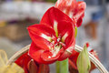 Photo flower red big outdoors Royalty Free Stock Photography