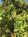 Photo of Fruit of Cashew Tree Anacardium Occidentale
