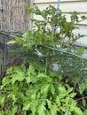 Photo of Fruit of Green Mini Roma tomato