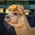 Photo of furry alpaca Royalty Free Stock Photo