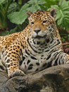 A photo of a male jaguar Stock Images