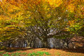 Photo of monumental beech of canfaito marche italy in the autumn season Royalty Free Stock Photos