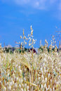 A photo of oats in summertime Royalty Free Stock Photo
