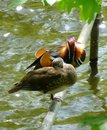 Pair of beautiful mandarin ducks sitting on the metal tube above the surface of water Royalty Free Stock Photo