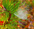 Photo pine branch with spider web with dew Royalty Free Stock Photo