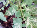 Plant leaf miner disease in tomato leaves Royalty Free Stock Photo