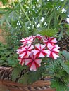 Trailing verbena candy cane flowers plant Royalty Free Stock Photo