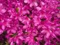 Purple Azalea Blossoms During Spring Royalty Free Stock Photo