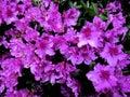 Purple Azalea Flowers Painting Royalty Free Stock Photo