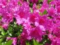 Purple Azalea Flowers in Full Bloom in April Royalty Free Stock Photo